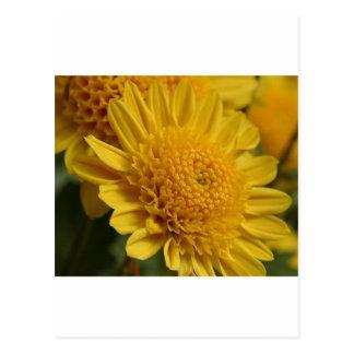 Flores amarillas de las momias tarjetas postales