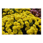 flores amarillas de los crisantemos impresiones