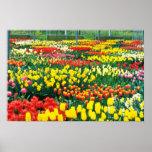 flores amarillas de los invernaderos de Keukenhof Impresiones