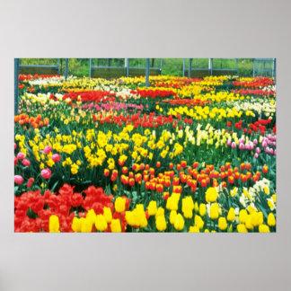 flores amarillas de los invernaderos de Keukenhof Póster
