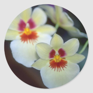 Flores amarillas de Miltoniopsis Pegatina Redonda