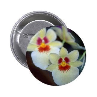 Flores amarillas de Miltoniopsis Pin