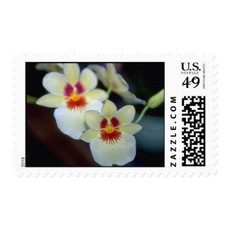 Flores amarillas de Miltoniopsis Sellos