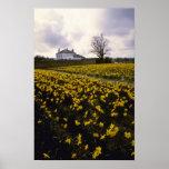 flores amarillas del campo del narciso impresiones