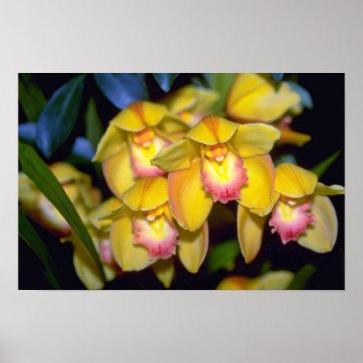 flores amarillas del Cymbidium Posters