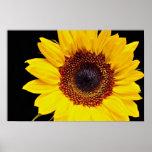 Flores amarillas del girasol impresiones