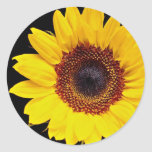 Flores amarillas del girasol pegatinas redondas