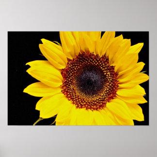 Flores amarillas del girasol póster