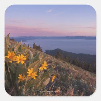 Flores amarillas del oído de las mulas en la pegatina cuadrada