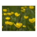 Flores amarillas del ranúnculo postal