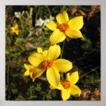 Flores amarillas soleadas. Bidens. Posters
