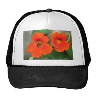 Flores anaranjadas de la capuchina en la floración gorras de camionero