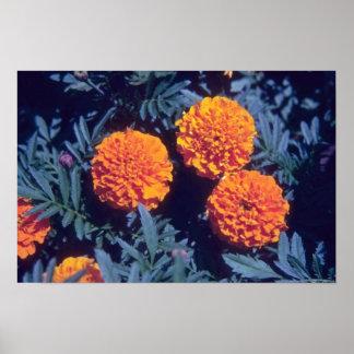 Flores anaranjadas de la maravilla francesa (Taget Impresiones
