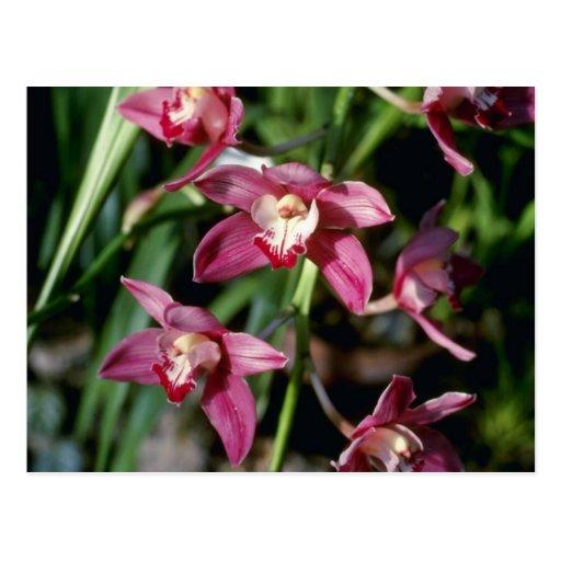 Flores anaranjadas de la tapicería (Cymbidium) Postal