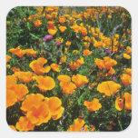 Flores anaranjadas de las amapolas de California Pegatinas Cuadradas