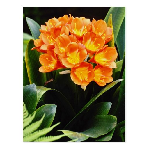 Flores anaranjadas de Lilly del Kafir del miniata  Postales