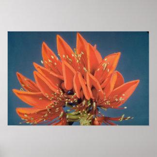 Flores anaranjadas del árbol coralino (variegata d impresiones