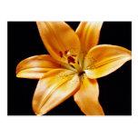 Flores anaranjadas del lirio tarjeta postal