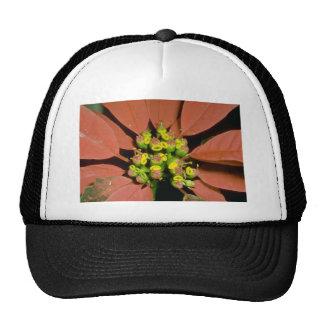 Flores anaranjadas del Poinsettia (pulcherrima del Gorras De Camionero