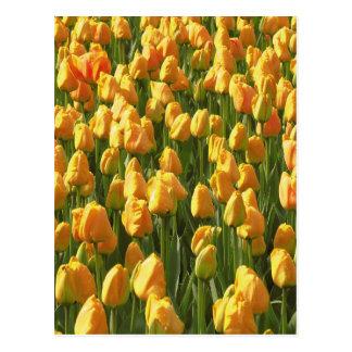 Flores anaranjadas del tulipán tarjetas postales