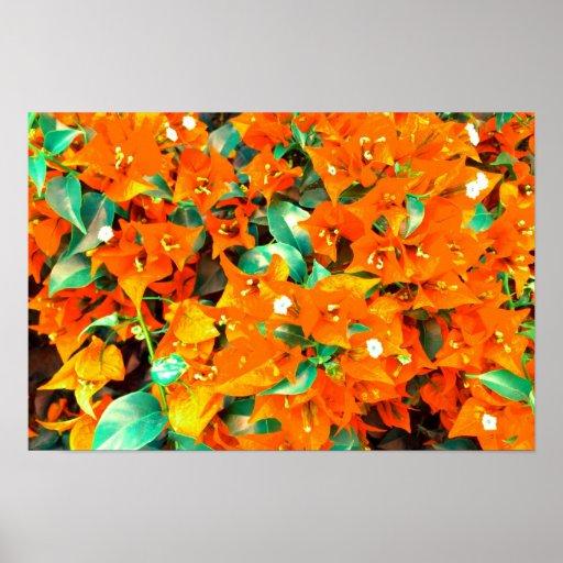 Flores anaranjadas vibrantes del Bougainvillea Póster