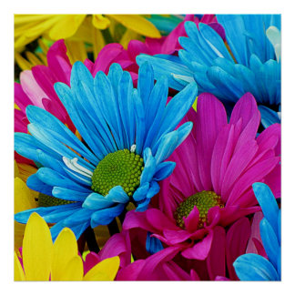 Flores azules de las margaritas de Gerber del trul Póster