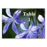 Flores azules del Agapanthus