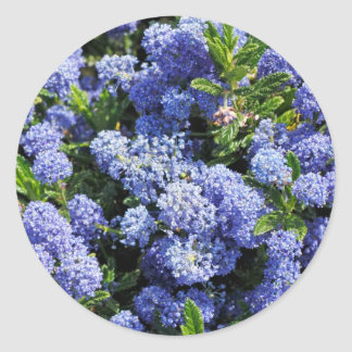 Flores azules púrpuras de Ceanothus Pegatina Redonda