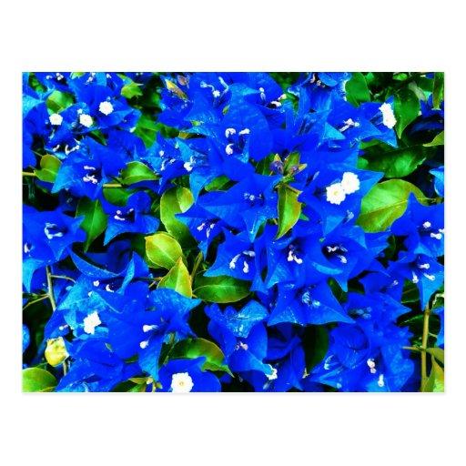 Flores azules vibrantes del Bougainvillea Tarjetas Postales