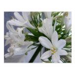 Flores blancas 1 del allium postal