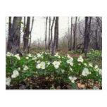 flores blancas blancas del Trillium Postal
