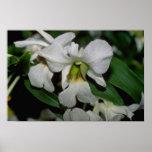 flores blancas de Cattleya Poster