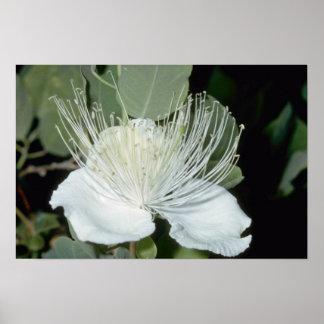 flores blancas de la alcaparra (sandwichiana del C Posters