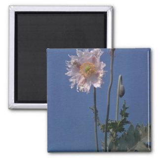 flores blancas de la amapola de opio (Papaver - so Imán Cuadrado