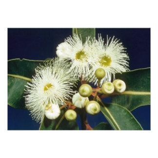 flores blancas de la caoba del pantano eucalipto comunicado