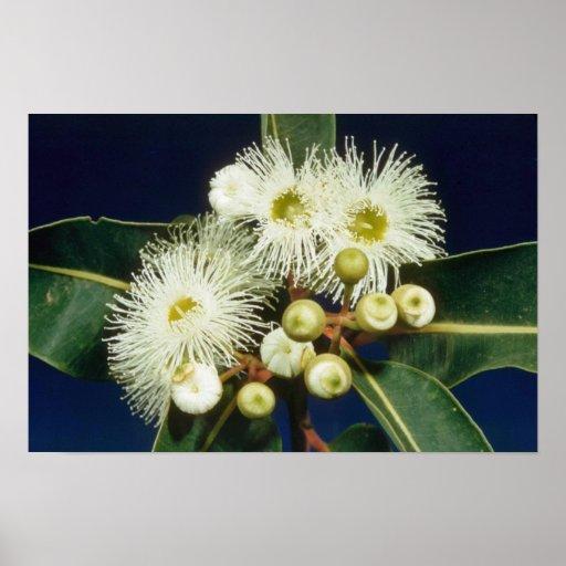 flores blancas de la caoba del pantano (eucalipto  posters