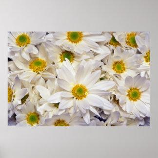 flores blancas de los crisantemos de la margarita impresiones