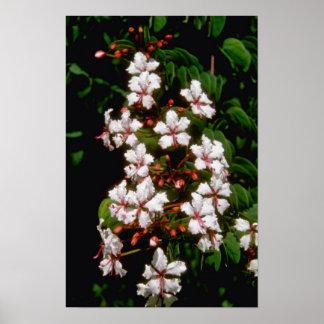 flores blancas de Ranida Formosa Poster