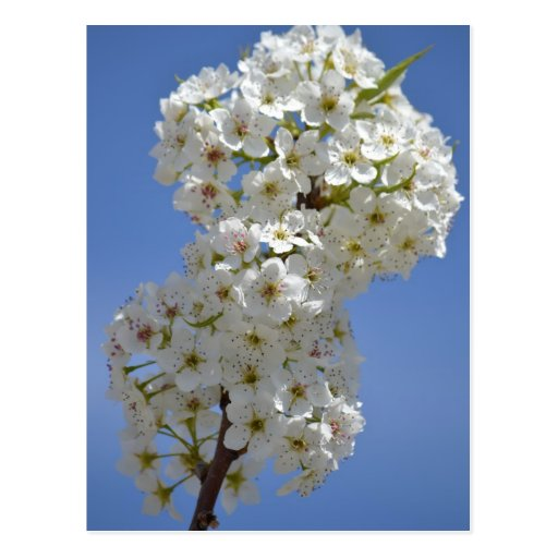 Flores blancas del árbol floreciente de la postales