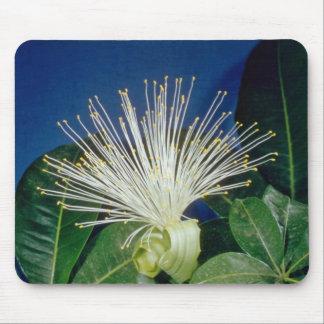 flores blancas del Bombax (aquatica de Pachira) Tapete De Ratones