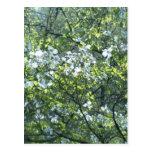 flores blancas del dogwood de la primavera postales