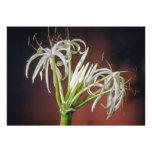 flores blancas del lirio de la araña (asiatinum de invitación