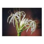 flores blancas del lirio de la araña (asiatinum de invitación 12,7 x 17,8 cm