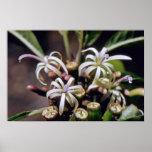 flores blancas del Lobelia (Cyanea spp.) Posters