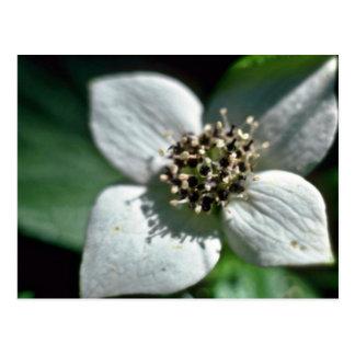 Flores blancas del primer del flor del Bunchberry Tarjetas Postales