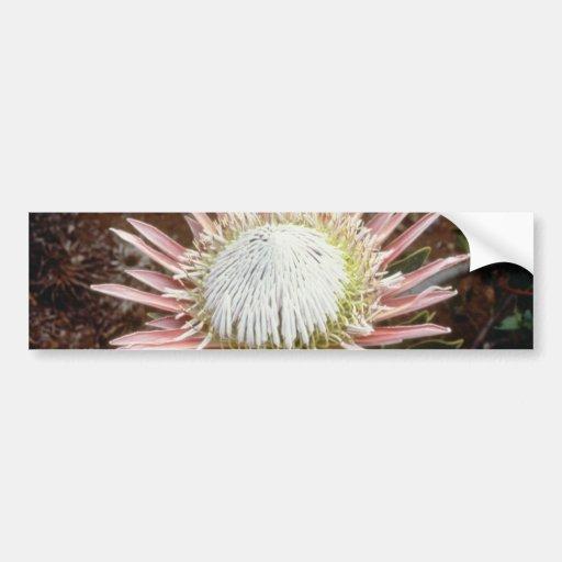 flores blancas del protea de rey (cynaroides del P Etiqueta De Parachoque