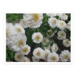 Flores blancas del verano tarjetas postales