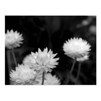 Flores blancas en blanco y negro postal