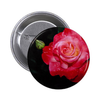 """Flores blancas híbridas de """"Brigadoon"""" del rosa de Pin"""