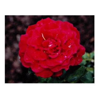 """Flores blancas híbridas de """"señor Lincoln"""" del ros Postales"""